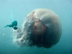 lions-mame-jelly-fish